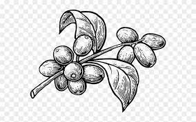 Coffee branch with leaf and berry. Organic Robusta Coffee Coffee Plant Vector Png Clipart 4629665 Pikpng