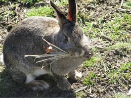 why do rabbits carry hay in their mouth