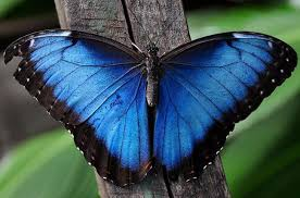 most beautiful butterflies in the world animated. Wonderful Butterflies The Blue Morpho Gets Its Name From Greek Epithet For Aphrodite  Throughout Most Beautiful Butterflies In World Animated B