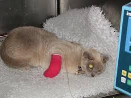 snake bites on cats. Exellent Snake Sasha The Burmese Cat Who Survived A Snake Bite Inside Snake Bites On Cats