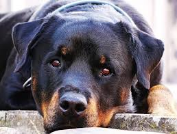 rottweiler is a muscular obent fearless and alert dog as naturally protective this breed can be a great guard dog for your family