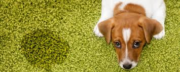 remove pet urine from carpet
