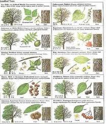 26 Best Leaf Identification Images Leaf Identification