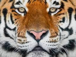 Raubkatzen: Der Tiger - Wildtiere - Natur - Planet Wissen