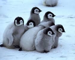 baby penguins. Delighful Penguins Babypenguinsanimals31184689350280 In Baby Penguins N
