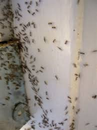 ants in bathroom. File:Ant Pests Wikimedia Commons Ants In Bathroom O