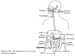the human digestive system worksheet – streamclean.info