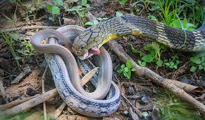 king cobra snake eating. Fine Snake King Cobra Eating Pet Snake Khon Kaen Thailand On Snake Eating A