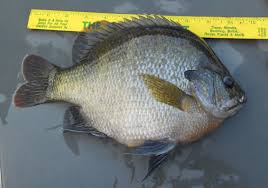 The Truth About Coppernose Bluegill In Tennessee Ponds