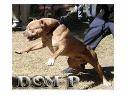 pitbull dog vs doberman.  Doberman Pitbull Vs Doberman With Pitbull Dog Vs Doberman