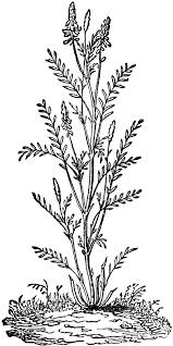 Leguminous plant hairy stems white flowers