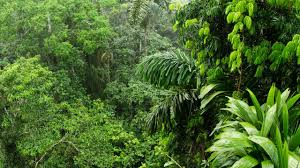 amazon rainforest. Contemporary Rainforest Trees In The Amazon Are Dying At A Faster Rate Which May Limit Landu0027s In Rainforest O