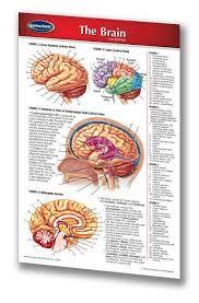 Brain Chart Brain Medical Pocket Chart Human Brain Quick Reference Guide