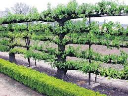 Apple Triple Grafted Royal Gala Braeburn Golden Delicious  PB18 Triple Grafted Fruit Trees