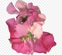 sweet pea flower png 743 800