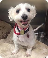 west highland white terrier maltese mix. Interesting Maltese Oak Ridge NJ  MalteseWestie West Highland White Terrier Mix Meet And Maltese Mix