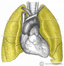 Chest radiography chest radiography revealed mild cardiomegaly download scientific diagram. The Lungs Position Structure Teachmeanatomy