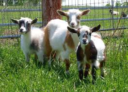 Dairy Goat Breeds Best Goat Breeds For Your Homesteading Needs Total Survival