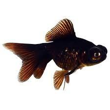 petsmart black goldfish. Interesting Petsmart Black Moor Goldfish Intended Petsmart L