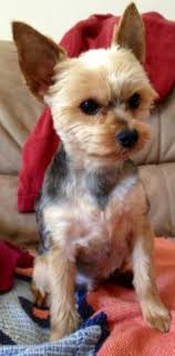 This cut is just a hair over the torso that is tapered on the head, nose, lower legs, paws and tail. 20 Pictures Yorkie Haircuts Yorkie Hair Styles To Try Right Now