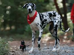 White Great Dane Mix with Chihuahua ...