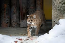 lynx size red lynx or bobcat stock image image of yellow wool 50602737