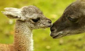 Image result for guanaco images