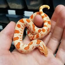 Designer Morphs Western Hognose Snakes Hold Back Male Extreme Red Albino Conda Western Hognose