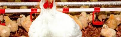 Мини птицефабрика бизнес план по разведению кур Открытие мини птицефабрики как прибыльной системы бизнеса