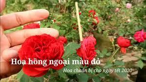 Những loài hoa hồng ngoại Đỏ rực chào năm mới mà bạn không thể bỏ qua -  YouTube