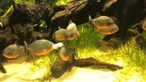 Resultat d'imatges de acuarios pirañas