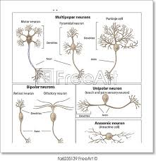 Free Art Print Of Types Of Neurons Types Of Neurons Eps8 Freeart