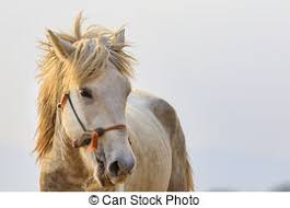 white horse face side. Beautiful Face Close Uf Face Of White Horse Head On Background To White Horse Face Side R