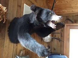 black bear pelt 6 2 foot black bear rug ru