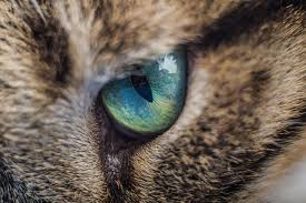 Eye Inflammation (Conjunctivitis) in Cats | petMD