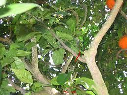 É realizada em plantas jovens, nos primeiros dois anos, muito importante para as mudas do tipo palito&n. Como Podar Planta De Limao Laranja E Tangerina Horta Em Casa