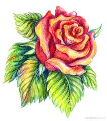 Roses Drawn Medium Size Full Size Back To Pencil Sketch Drawing Of