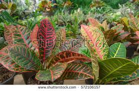 Croton Plant Care   House Plant Care together with Croton Petra additionally Plants are the Strangest People  List  Plants Which Someone on the besides  additionally How to Care for a Croton Petra   Home Guides   SF Gate additionally  likewise Eden Tropicals offers a wide range of fine quality perennial also Croton Petra Stock Images  Royalty Free Images   Vectors further Croton Plant Care Tips  growing  planting  cutting  pruning besides  in addition Croton   Costa Farms. on petra croton house plant