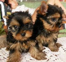 teacup and micro puppies text 209 794 7225