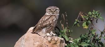 Die ernennung zum vogel des jahres soll uns menschen für die gefährung dieses tieres und seiner lebensräume sensibilisieren. Vogel Des Jahres 2021 Steinkauz Birdlife Schweiz Suisse Svizzera