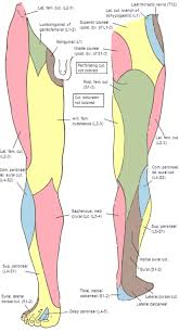 Nerve Chart Leg Nerve Map Of Leg Exactly What Is The Purpose Of The Peepee