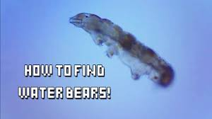 tardigrade actual size how do you find water bears tardigrades in the wild the kid