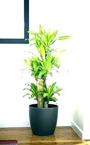 easy indoor plants extraordinary e indoor plants big easy house for tall low ht safe pets large houseplants to easy house plants easiest outdoor potted