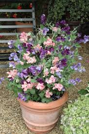 15 Of The Most Vigorous Fast Growing Climbers U2013 PyracanthacoukWall Climbing Plants In Pots