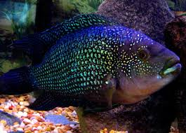 Small Picture 106 best Special Cichlids images on Pinterest Tropical fish