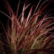 Siergrassen Lampenpoetsersgras Pennisetum Fireworks Rood