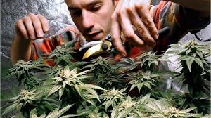 cannabis detection in saliva