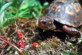 box turtle size plants that are poisonous to box turtles land turtles box turtles