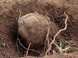 Image result for australian black truffle