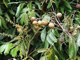 Favorite Citrus Trees  SunsetSouthern California Fruit Trees